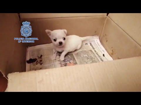 Rescatan a 270 chihuahuas mutilados en criaderos de Madrid