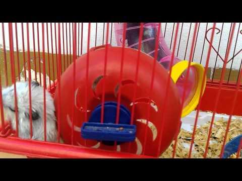 Cara beternak hamster di rumah yang lucu dan benar
