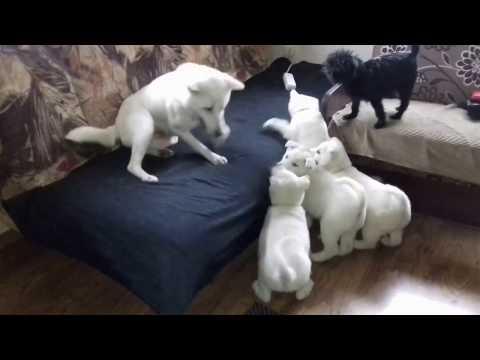 KISHU INU puppies