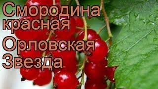 Смородина красная Орловская Звезда 🌿 обзор: как сажать, саженцы смородины Орловская Звезда