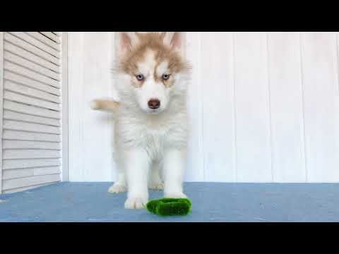 Leona pure breed Mini Husky