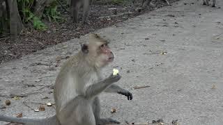 Lừa Khỉ Ăn Ớt ,Thử Cho khỉ Ăn, Cam ,Khóm , Dưa hấu .Trick monkey into eating chili .Thanh Hoai KG