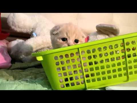 ผลุบๆโผล่ๆ#Stealthy jump#Scottish fold#Manekineko Cattery#Cat#Cute