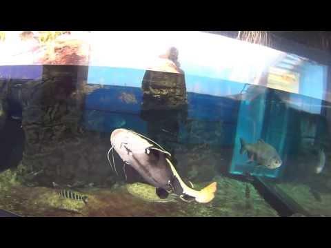 Pesce gatto funnycat tv for Pesce gatto acquario