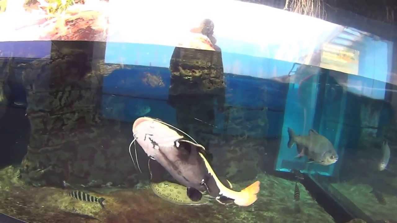 Surfcasting acquario di genova pesce gatto youtube for Pesce gatto acquario