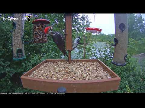 Pileated And Hairy Woodpeckers Cling To Either Side Of Suet Feeder – Sept. 6, 2017