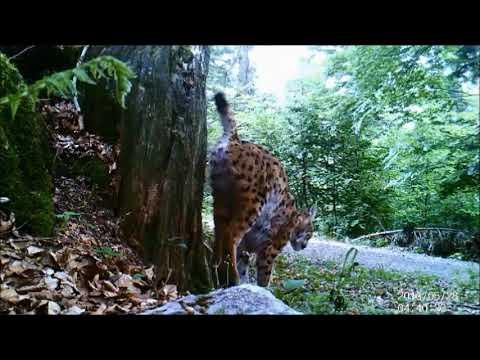 Eurasian lynx territorial marking in Slovenia