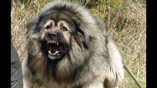 кавказская овчарка наша охранная собака
