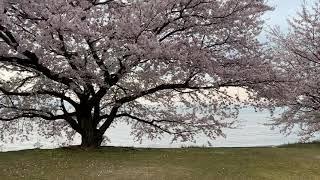 あまりにも美しい満開の桜.