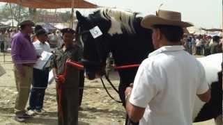 Jairaj - Marwari Stallion (Fateh Stud Farm, Kelwa) at Tilwara Horse Fair , Barmer
