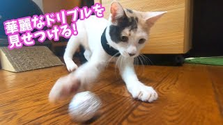初めてのアルミホイル玉に大はしゃぎな子猫