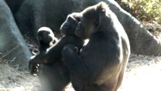 Gorilla sisters (4 years, 8 months) and mom.ゴリラ姉妹(4歳、8ヶ...