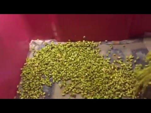 How to grow Mung bean sprouts without roots. Как вырастить Маш дома без Корней