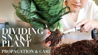 PROPAGATE SNAKE PLANT (SANSEVIERIA)