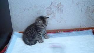 Шотландские котята скоттиш страйт Файна Киця