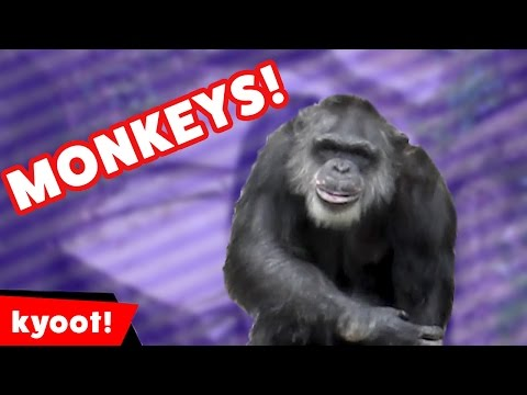 The Funniest Monkey Videos, Moments, Outtakes & Clips EVER! Weekly Compilation 2016 | Kyoot Animals