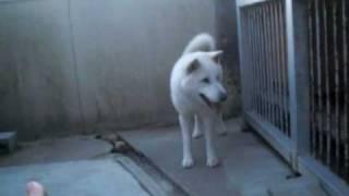2010年2月20日撮影 紀州犬イチ・1歳。 おもちゃをちょ―だいって言っても...