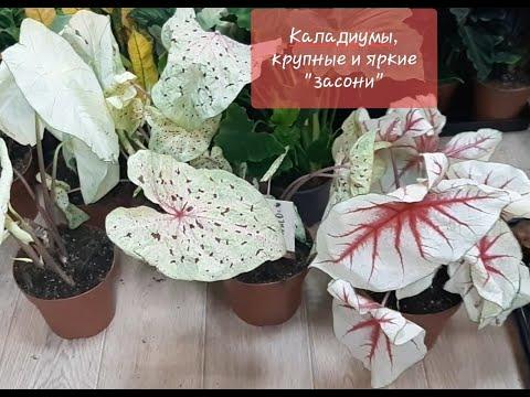 Комнатные цветы. Новое поступление 27.05.2020г Спатифиллум Сенсация, Крупные Каладиумы