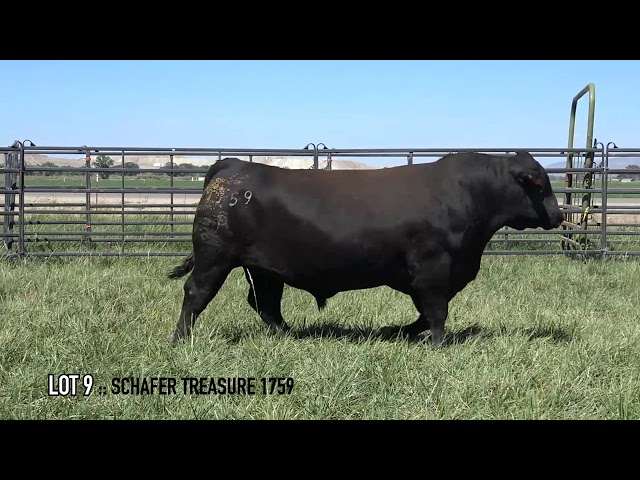 Mid Valley Bull Sale Lot 9