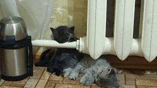 Продолжение.сон подкрался у теплой батареи.  Котенок засыпает. Теперь и у меня есть такое видео.