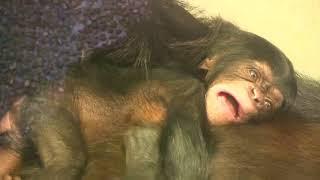 Download Video 東山チンパンジー 双子の赤ちゃん⑤ Chimpanzee twin baby MP3 3GP MP4