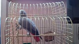 Попугай матершинник ржач прикол