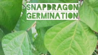 *Re-upload* Germinating Snapdragon Seeds