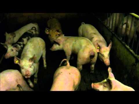 babe le cochon suisse partie 2 streaming vf