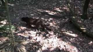 Ягуарунди в зоопарке Белиз