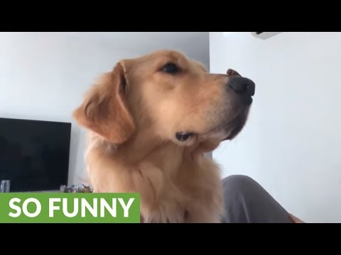 Golden Retriever learns to catch treats in slow motion