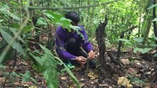 วิธีดักไก่ป่าแบบง่ายๆ ได้ผล 100%