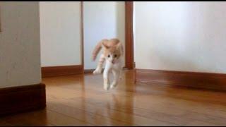 子猫 琥珀(こはく) ~生後約4ヶ月~ 体重1.4kg