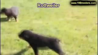 Rottweiler, Puppies, For, Sale, In, Anchorage, Alaska,ak, Fairbanks, Juneau, Eagle River