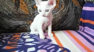 Беленький котенок  Питомник девон-рекс IRRUS