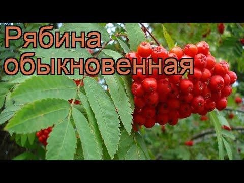 Рябина обыкновенная (sorbus aucuparia) 🌿 обыкновенная рябина обзор: как сажать, саженцы рябины