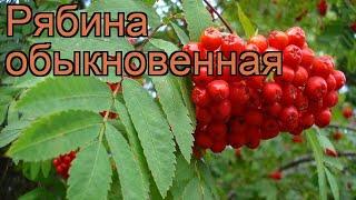видео Рябина обыкновенная