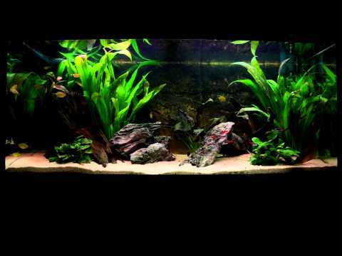 Fishtank | Juwel Rio 180 | Diamond Gourami