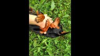 Гладить животик собаке
