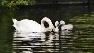 Mute Swan (Cygnus olor) with two Chicks / Höckerschwan mit zwei Küken