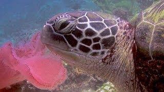 Cabilao 2013 (1): turtle - HD