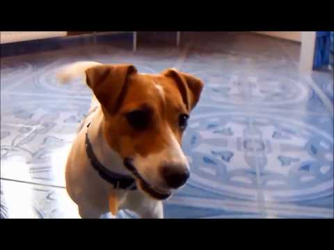 Mila- Jack Russell (funny)