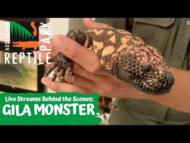 LIVE WITH A GILA MONSTER   AUSTRALIAN REPTILE PARK