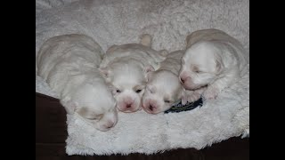 Coton de Tulear Puppies For Sale - Emma 7/20/20