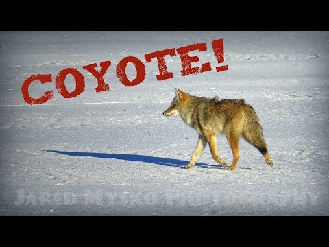 Coyote Crossing Wascana Lake