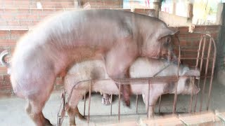 Amazing Pig Crossing / How Pig Breeding # Animal Channel KH