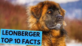 Leonberger  TOP 10 Interesting Facts