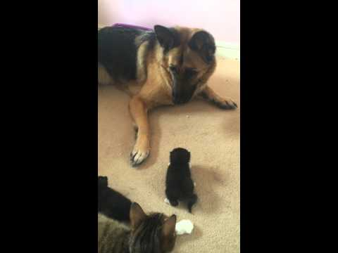 German Shepherd frightened by 2 week old kitten