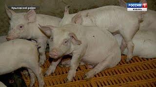 Свиноводство занимает большую долю в отечественном животноводстве