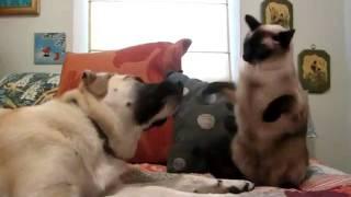 Кот боксер и его тренер собака