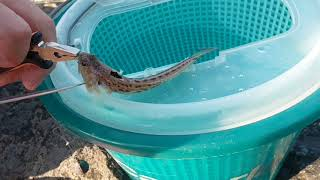 TRAKONYA - Denizlerimizde bulunan en zehirli, balık.